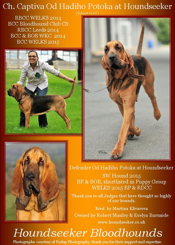 bloodhound Captiva od Had�ho potoka